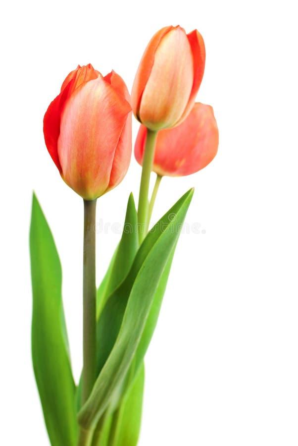 Bouquet rouge de tulipes photographie stock