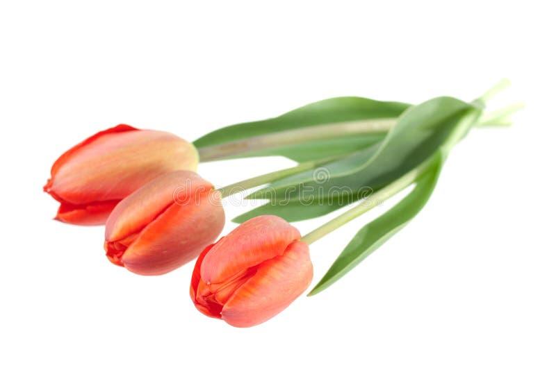 Bouquet rouge de tulipes sur le blanc photo stock