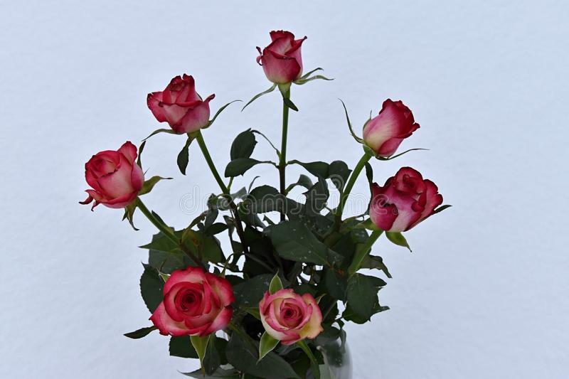 Bouquet of seven roses on a white background. stock photos