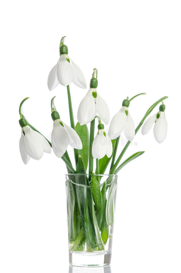 bouquet of snowdrop flowers in glass vase royalty free stock images