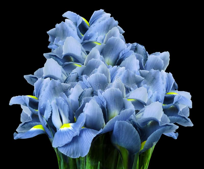 A bouquet of spring flowers of light blue irises on the black isolated background. Close-up. Nature stock images