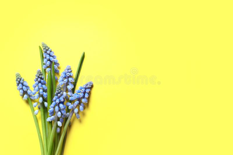 Bouquet of spring muscari flowers on color background, top view. With space for text stock photography