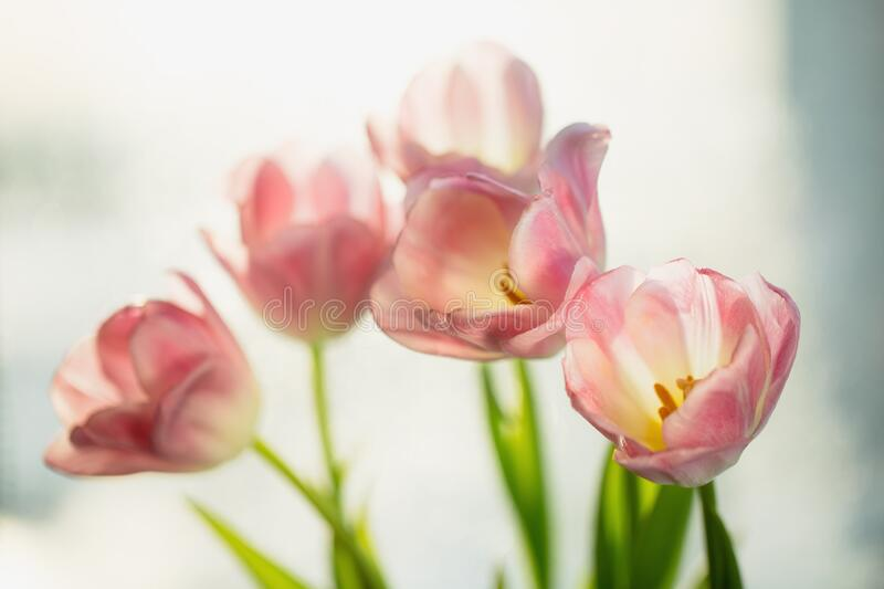 Bouquet of spring pink tulip flowers. Selective focus, shallow DOF, toning, close-up. Flower nature background stock image