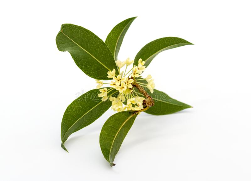 Sweet osmanthus flowers stock image
