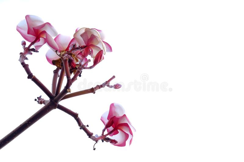 A bouquet of sweet pink plumeria flower blossom on white isolated background stock photo
