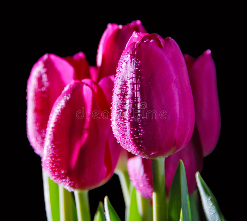 A bouquet of tulips on a black stock photos