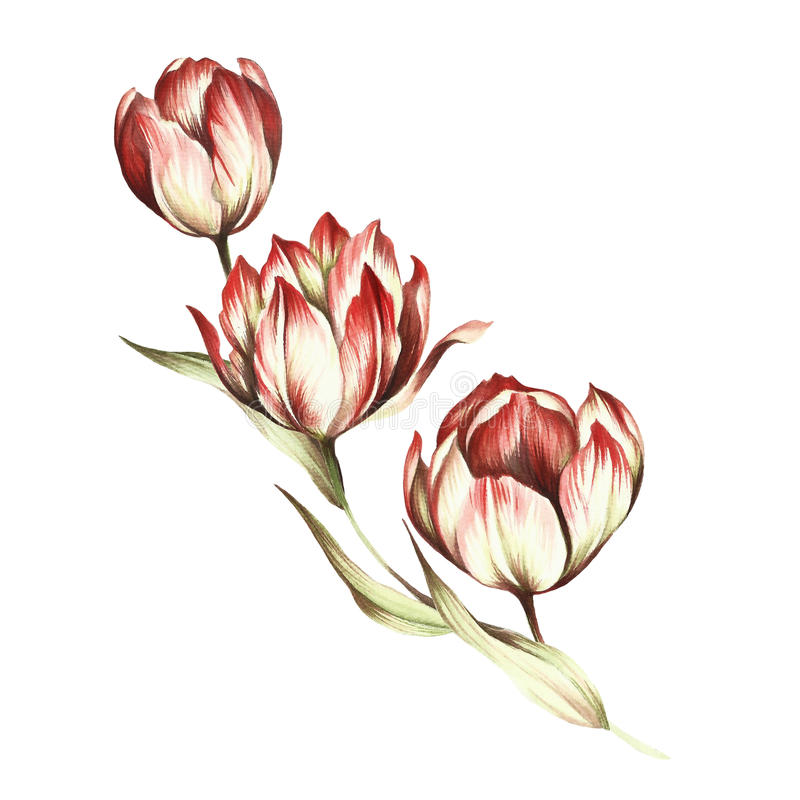 download bouquet of tulips hand draw watercolor illustration stock illustration image 88711359