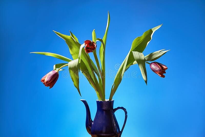 Bouquet of tulips in a jug. blue background.  royalty free stock images