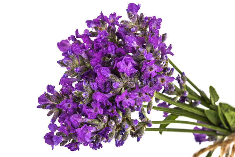 Bouquet of violet wild lavender flowers in dewdrops and tied wit. H bow, isolated on white stock photos