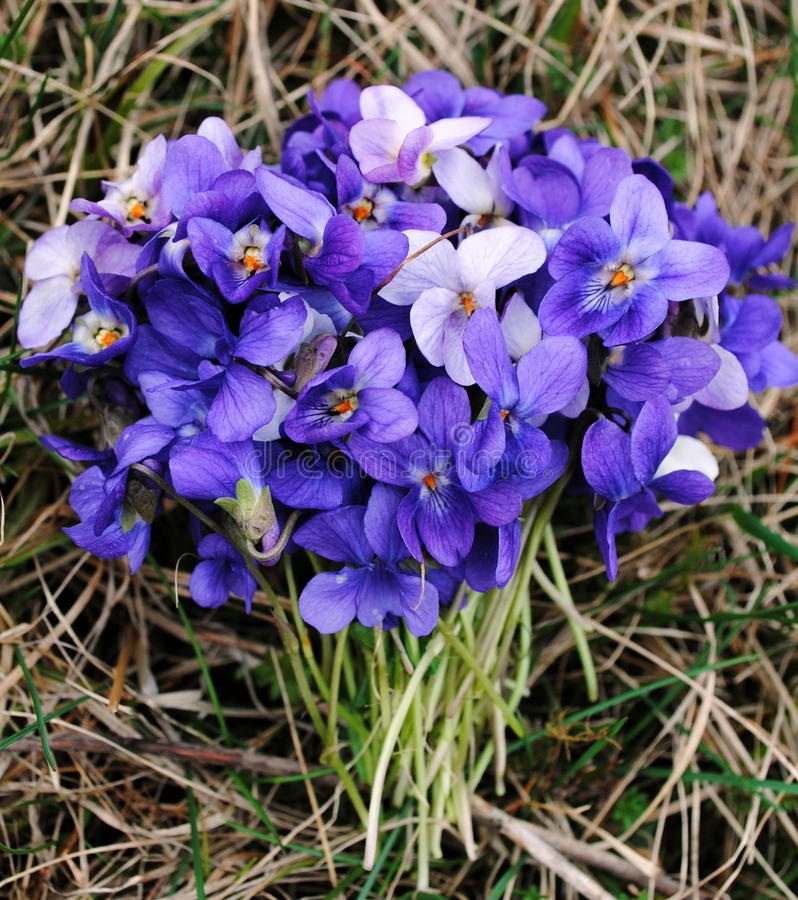 Bouquet of violets. Early spring fresh bouchet of violets royalty free stock image