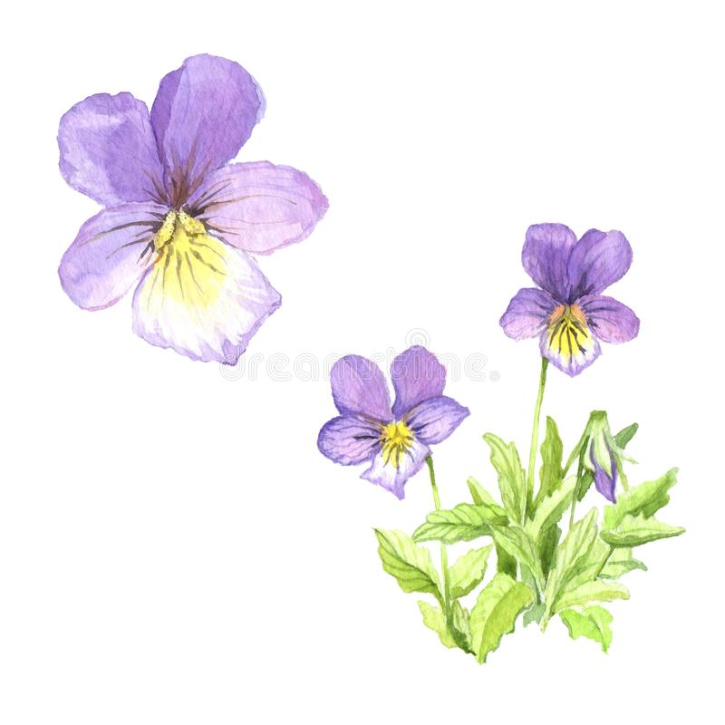 A bouquet of violets. royalty free stock photos