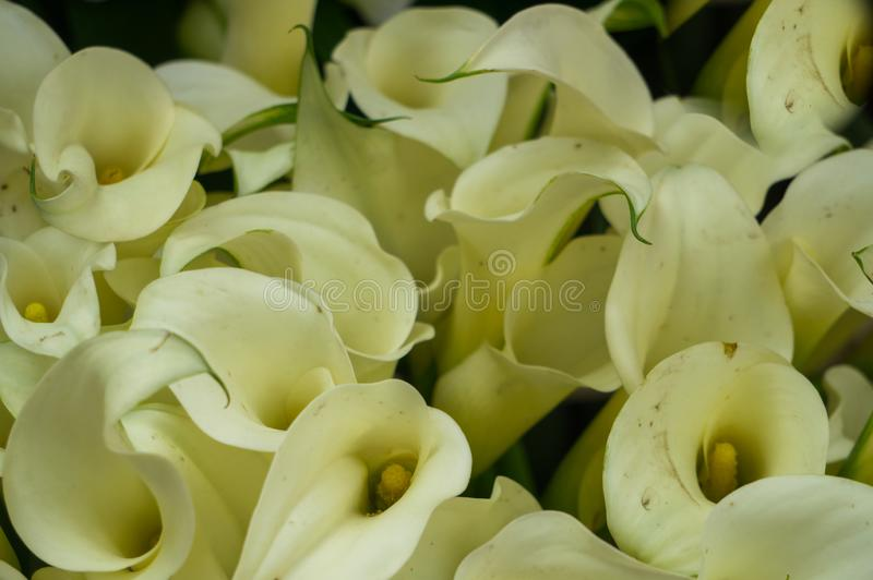 Bouquet of white calla flowers in a vase royalty free stock photography
