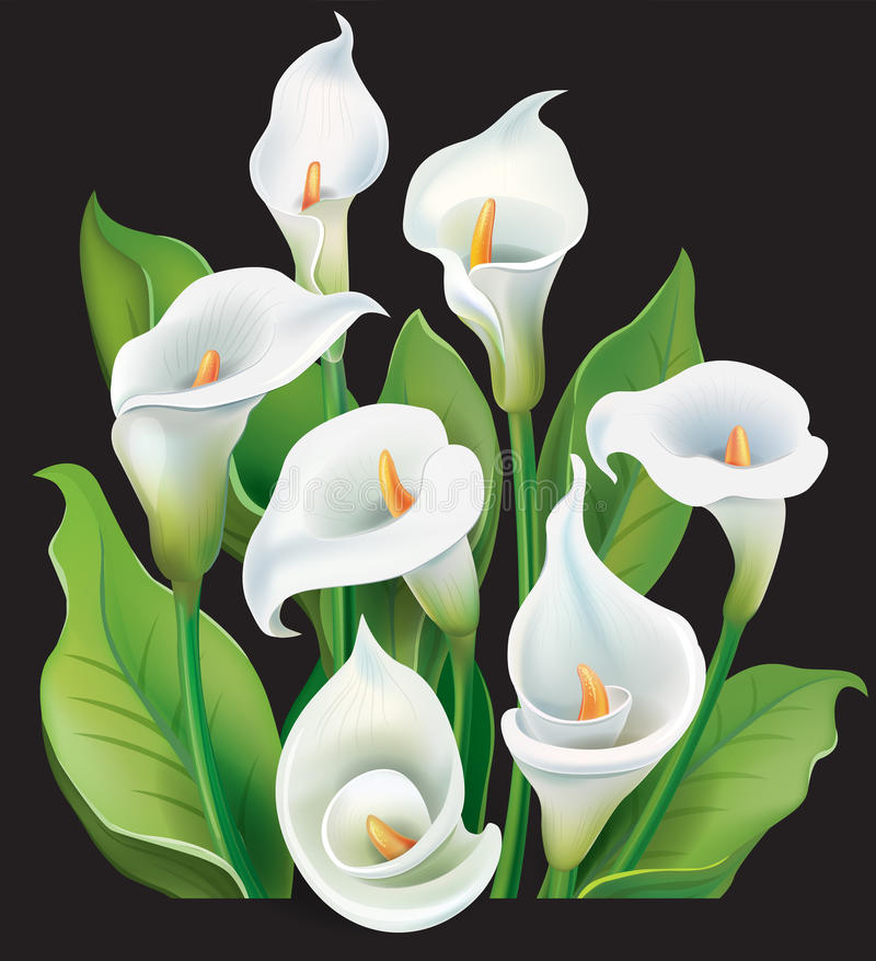 Bouquet of White Calla lilies vector illustration