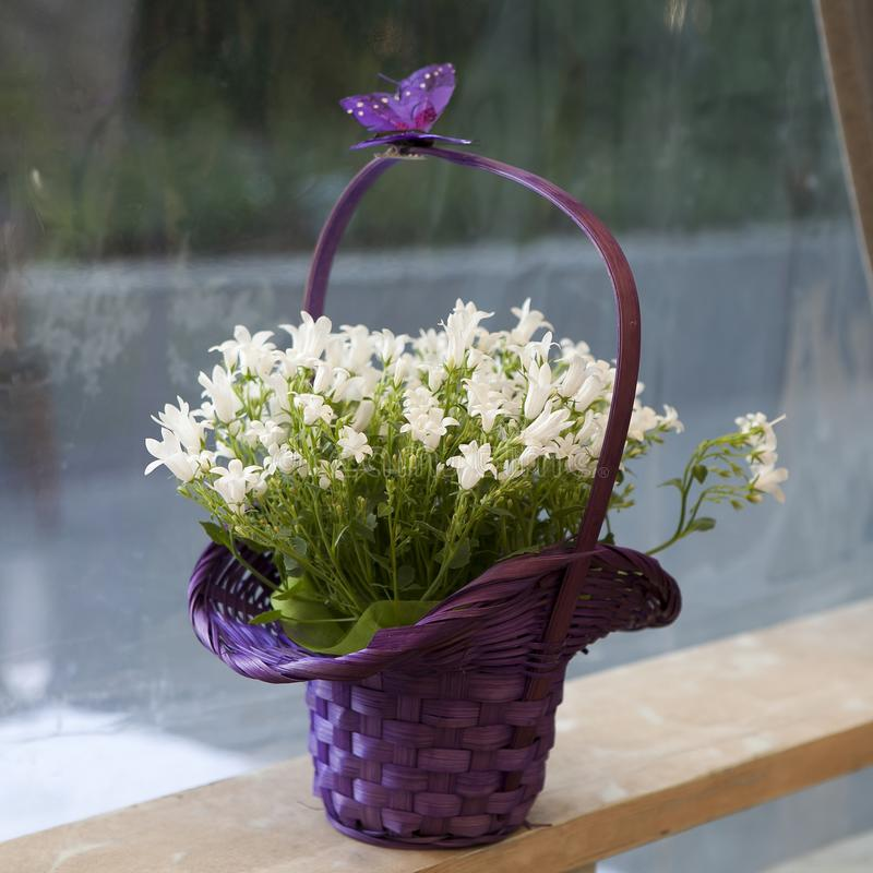 Bouquet of white Campanula in a purple wicker basket for the b stock photos