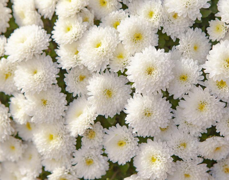 Bouquet of white chrysanthemum flowers stock photography