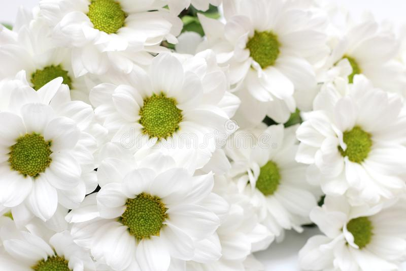 Bouquet of white chrysanthemums isolated on a white background. Daisy, garden, green, floral, yellow, design, petal, bunch, leaves, gift, cut, out, horizontal royalty free stock photos