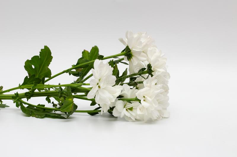 Bouquet of white chrysanthemums isolated on a white background. Plant, daisy, garden, green, floral, yellow, design, petal, bunch, leaves, gift, cut, out stock photos