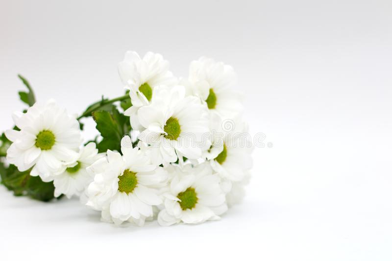 Bouquet of white chrysanthemums isolated on a white background. Plant, daisy, garden, green, floral, yellow, design, petal, bunch, leaves, gift, cut, out stock image