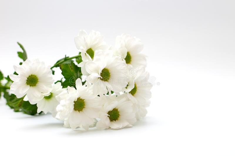 Bouquet of white chrysanthemums isolated on a white background. Plant, daisy, garden, design, petal, bunch, leaves, gift, cut, out, horizontal, soft, flowers royalty free stock photography