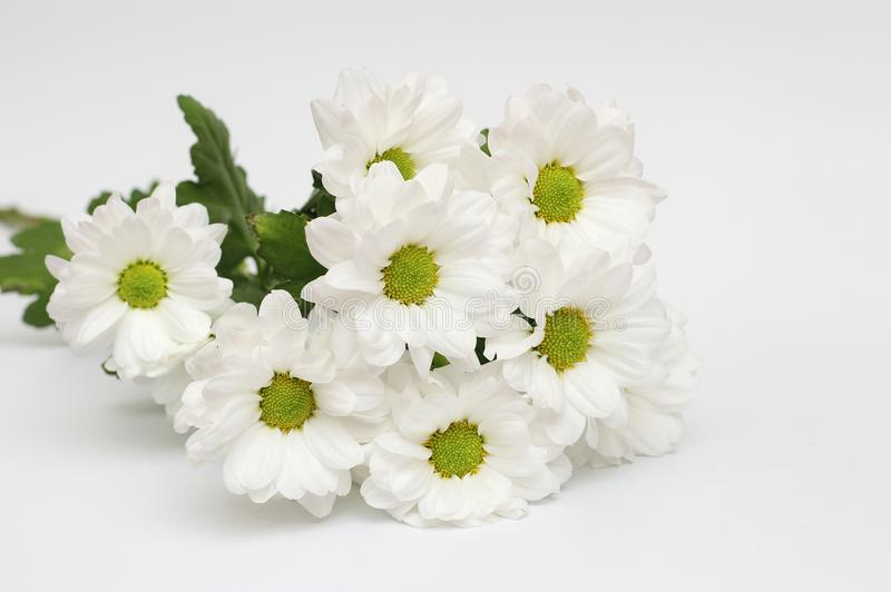 Bouquet of white chrysanthemums isolated on a white background. Garden, green, floral, yellow, design, petal, bunch, leaves, gift, cut, out, horizontal, soft royalty free stock images