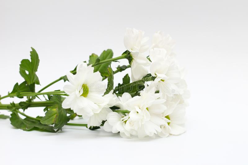 Bouquet of white chrysanthemums isolated on a white background. Plant, daisy, garden, green, floral, yellow, design, petal, bunch, leaves, cut, out, horizontal royalty free stock photos