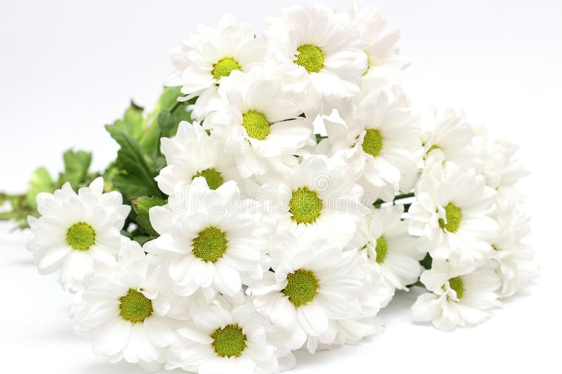 Bouquet of white chrysanthemums isolated on a white background. Daisy, garden, green, floral, yellow, design, petal, bunch, leaves, gift, cut, out, horizontal stock photography