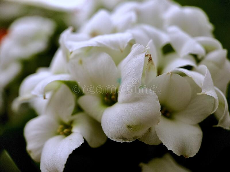 Close up of white flowers royalty free stock photos