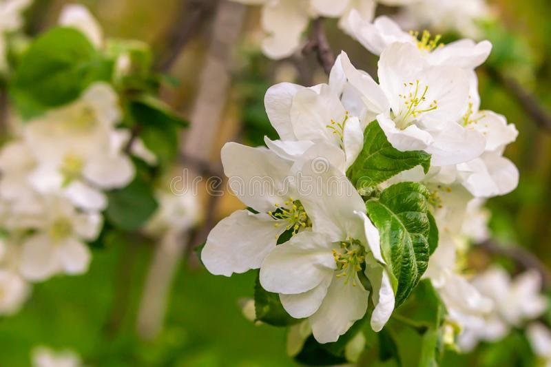 Bouquet of white flowers a lot with green leaves apple trees spring string of fruits close-up background flora royalty free stock photography
