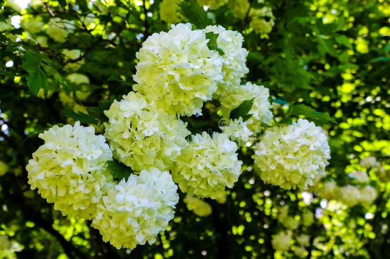 Bouquet of white hydrangea flower blossom in morning garden and green background stock photos