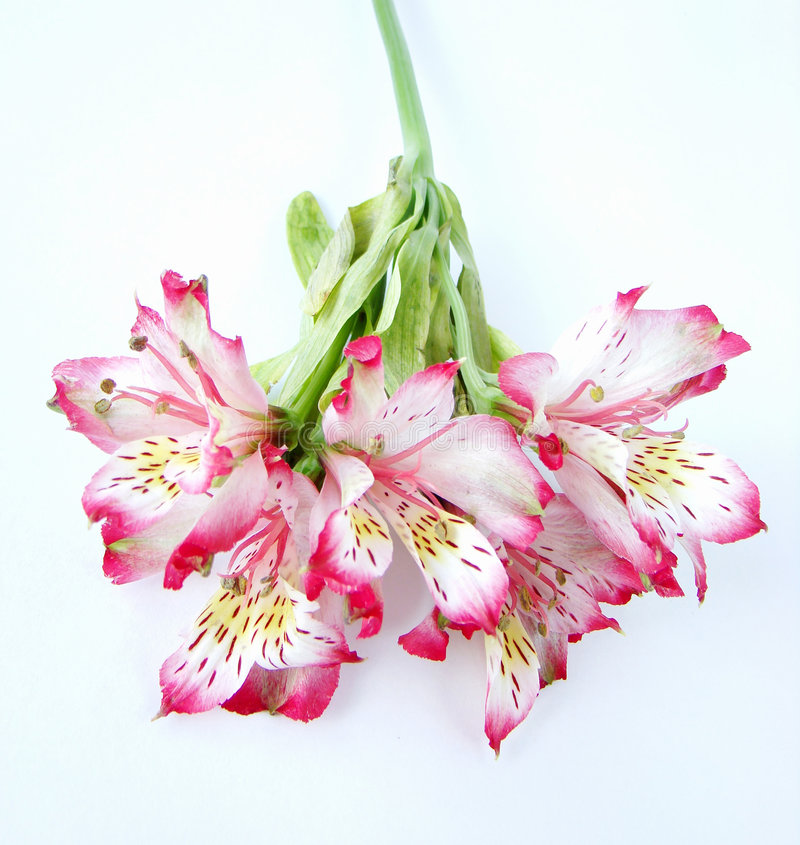 Bouquet of White and Pink Alstroemeria flowers