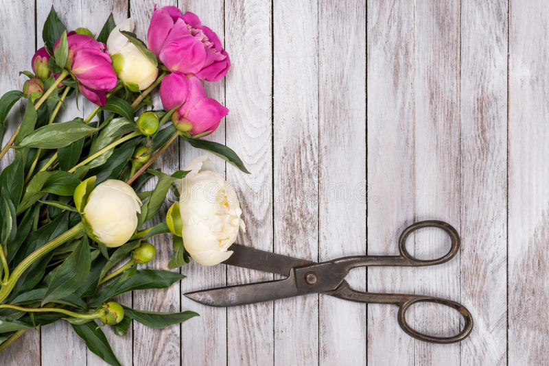 Bouquet of white and pink peonies and vintage scissors on white wooden. Space for custom text. Square image. Top view. Bouquet of white and pink peonies royalty free stock photo