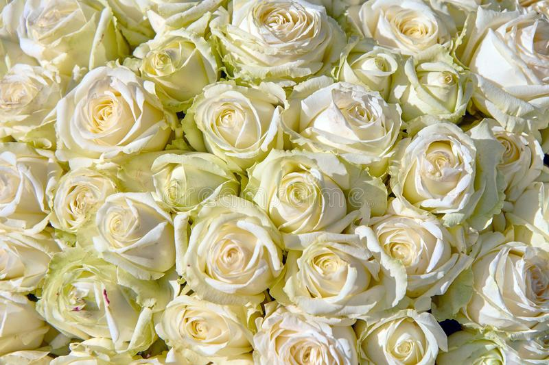 Bouquet of white roses closeup background. Flora royalty free stock photos