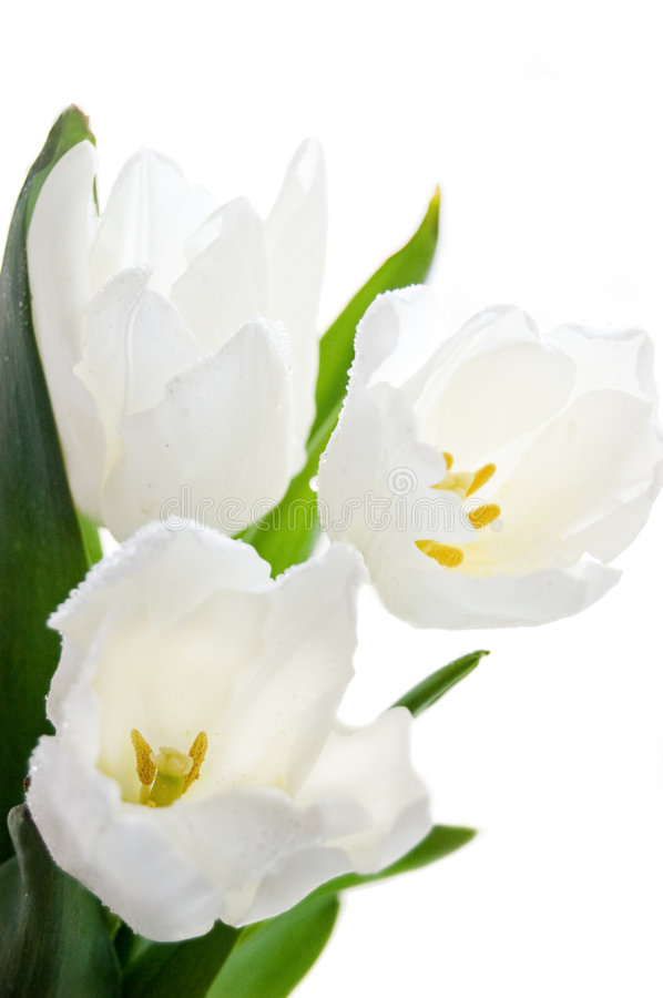 Bouquet of white tulips. Over white stock images