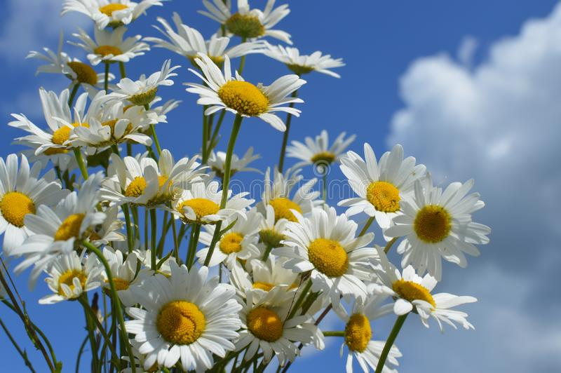 A bouquet white wild camomiles against the background of the blue sky. royalty free stock photo
