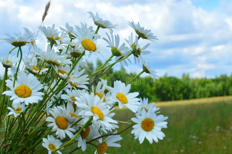 A bouquet white wild camomiles against the background of the blue sky. stock photo