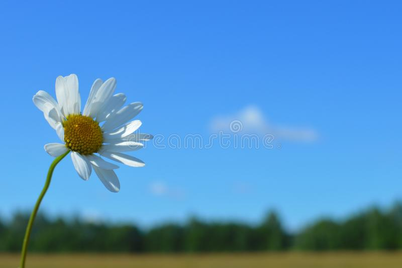 A bouquet white wild camomiles against the background of the blue sky. royalty free stock image