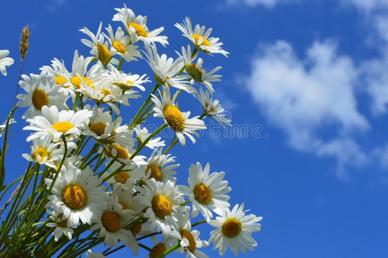 A bouquet white wild camomiles against the background of the blue sky. stock photography