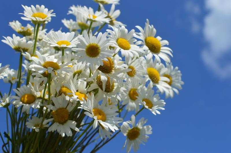 A bouquet white wild camomiles against the background of the blue sky. stock image