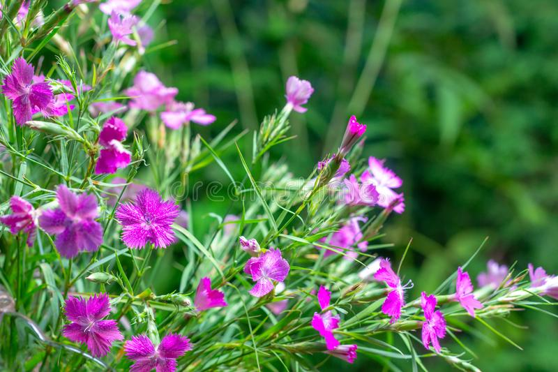 Wild carnations on a green natural background stock image
