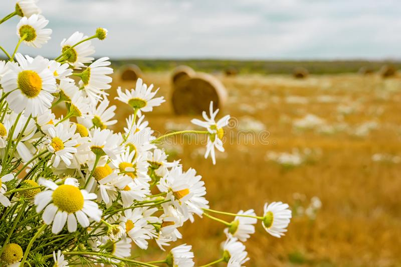 A bouquet of wild daisies on the background of a rural landscape with hay bales on a mowed field on a sunny autumn day stock photo