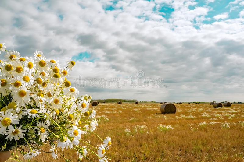 A bouquet of wild daisies on the background of a rural landscape with hay bales on a mowed field on a sunny autumn day royalty free stock images
