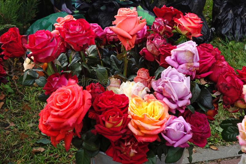 Bouquet of withering roses. Floral background royalty free stock image