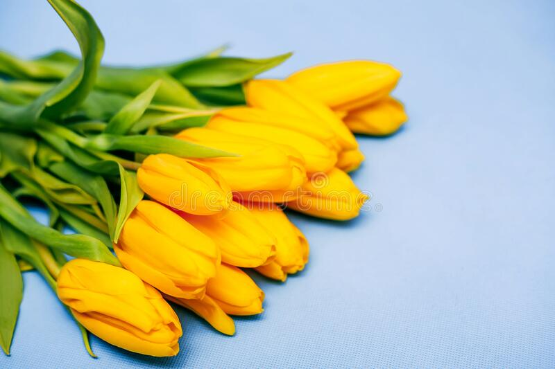 A bouquet of yellow beautiful tulips lies on a blue background. The concept of the holiday is March 8, Women`s Day, Valentine`s stock photography