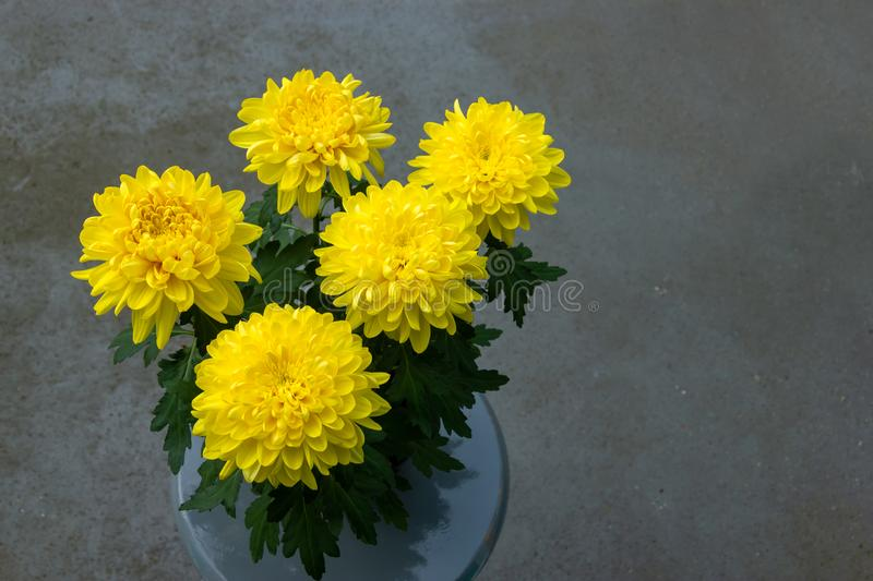A bouquet of yellow chrysanthemums composing the composition. Sp. Ring flowers as a gift./Yellow chrysanthemums. Composition stock photos