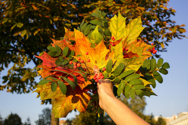 Bouquet of yellow and green leaves in hand. Bouquet of yellow and green leaves with mountain ash branch in hand royalty free stock image