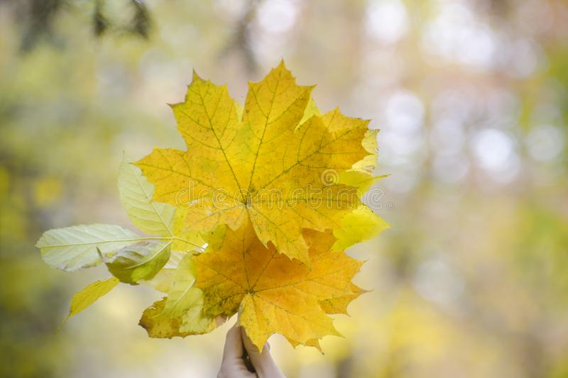 Bouquet of yellow maple leaves in a female hand. Autumn concept royalty free stock photos
