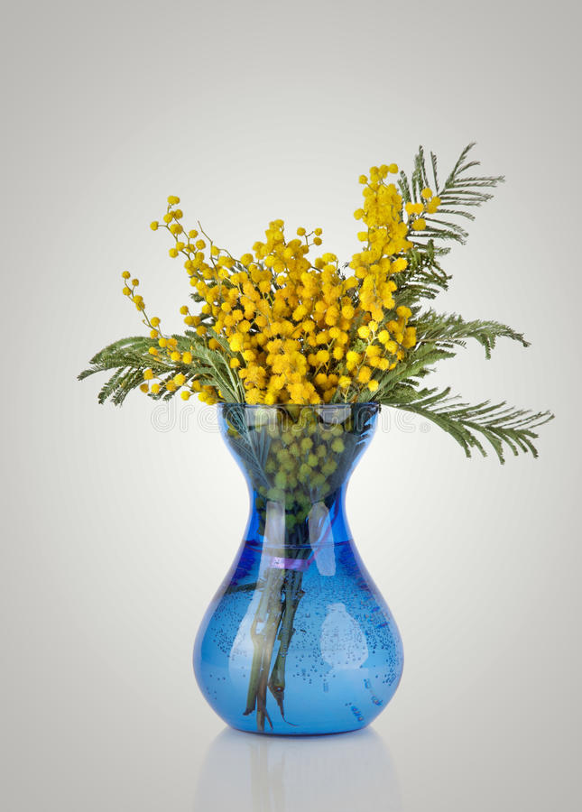 Bouquet of yellow mimosa acacia flowers in blue glass vase. Isolated on gray background stock photo