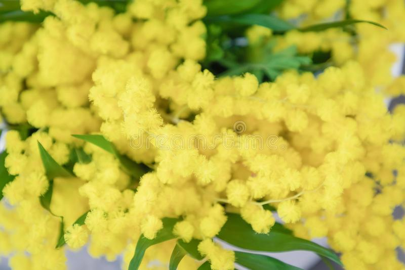 Bouquet of yellow mimosa flowers. Beautiful fluffy spring flowers background stock image