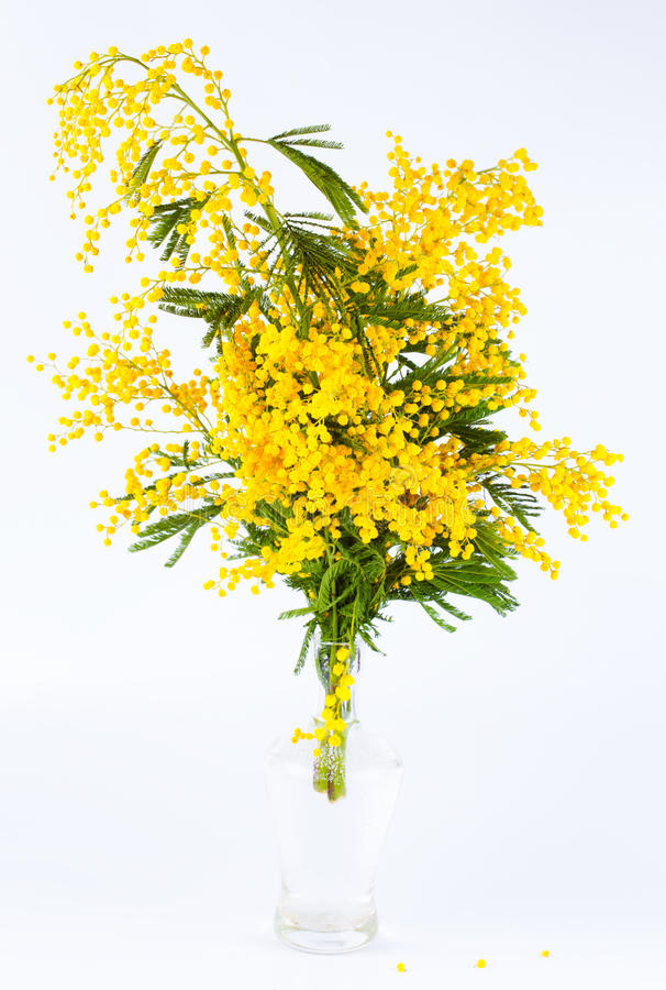Bouquet of a yellow mimosa. In a transparent glass vase royalty free stock image