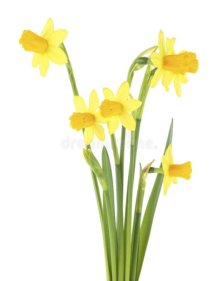 Bouquet of Yellow narcissus flowers isolated on white background. Spring flowers. Bouquet of Yellow narcissus flowers isolated on a white background. Spring stock image